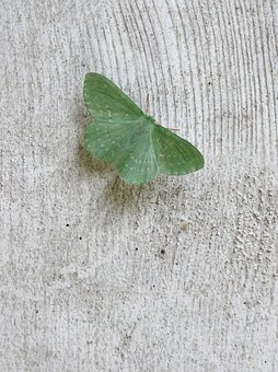 Wood, Moth, Insect, Butterfly, Close