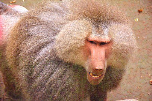 Baboon, Zoo, Animal, Close-up