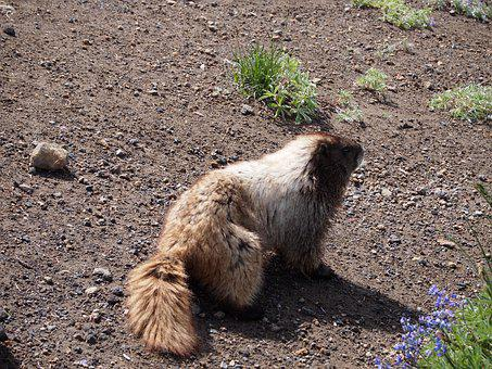 Marmot, Dirt, Nature, Wild, Cute, Ground, Mammal