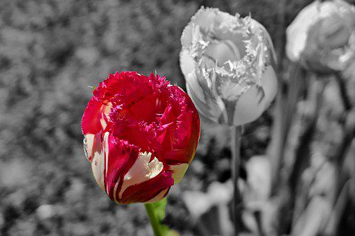 Tulips, Black And White, Flowers, Early, Red, Spring