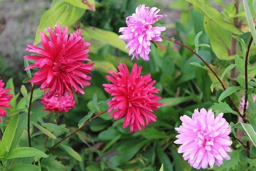 Astra, Autumn Flowers, Garden, Pink, Autumn, Nature