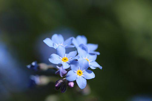 Blue Forget Me Not, Nature, Spring Flower