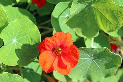 Nasturtium, A Flower Garden, Orange, Nature