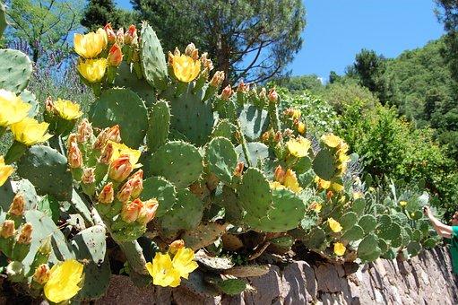 Cactus, Prickly Pear, Cactus Greenhouse, Prickly, Spur