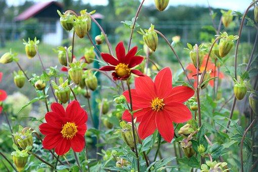 Dahlia Mignon, Red Flowers, The Buds, Garden