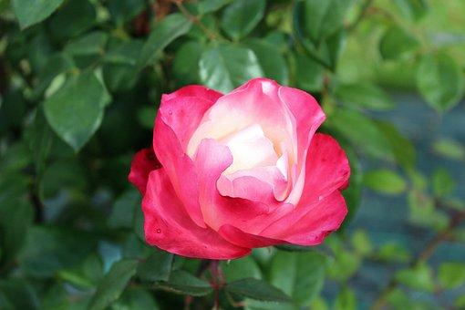 Rose, Pink Petals, Flower, Rose Flower, Rose Petals
