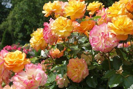 Roses, Rose Garden, Hadamar, Rose Flower, Blossom