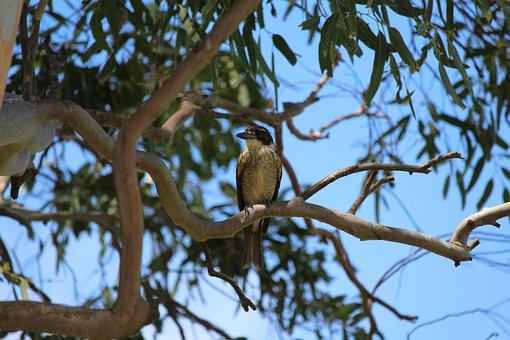 Butcher, Bird, Female, Tree, Perched, Perch
