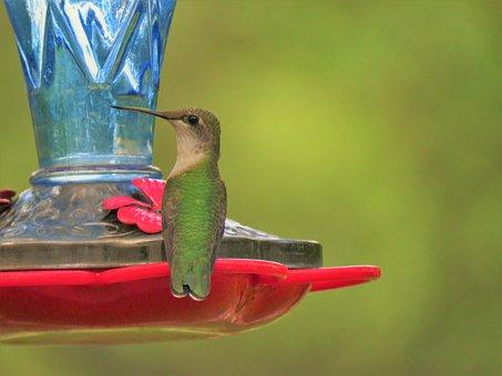 Bird, Hummingbird, Up Close, Wildlife