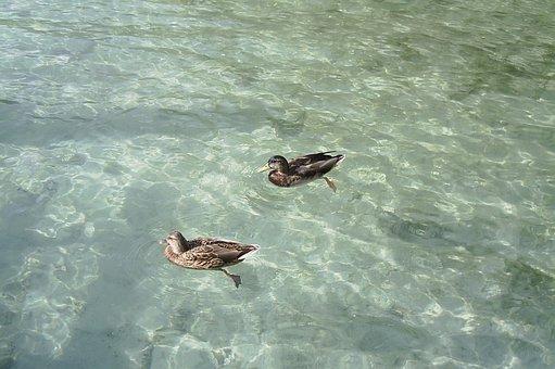 Ducks, Lake, Natura, Ducks Lake, Nature, Waterfowl