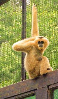 Gibbon, Animal, Zoo