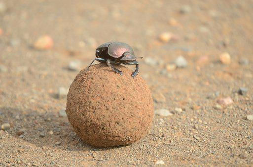 Dung Beetle, Scarab, Beetle, Insect, Wildlife, Animal
