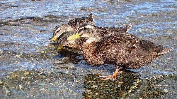 Duck, Drinking, Water, Bird