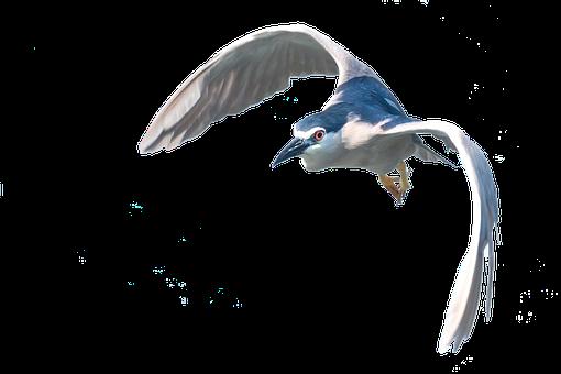 Heron, Flight, Isolated, Bird, Plumage, Water Bird