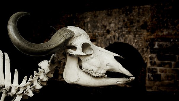 Cattle Skull, Skull, African Buffalo, Syncerus Caffer