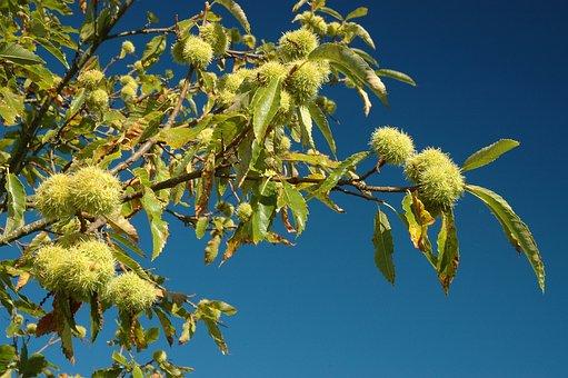 Chestnut, Chestnuts, Autumn, Prickly, Maroni, Spur, Sky