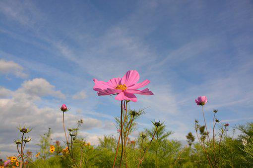 Flower, Flowers, Color Pink, Country, Nature, Blue Sky
