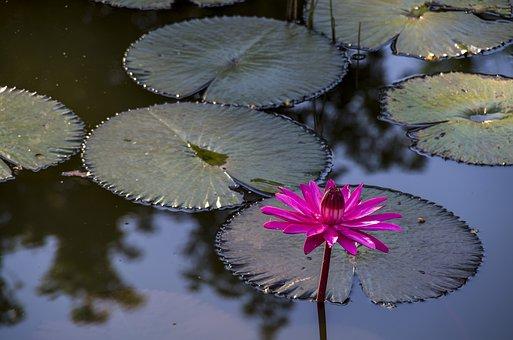 Water Lily, Water, Flower, Nymphaea, Cuba