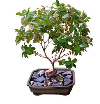 Bonsai, Myrtle, Tree