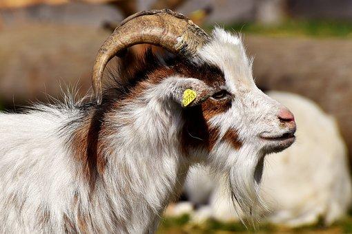 Billy Goat, Goats, Animal, Farm, Good Aiderbichl