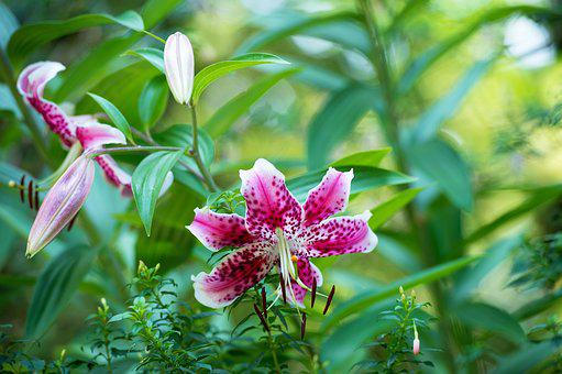 Lily, Flower, Pink, Floral, Plant, Blossom, Nature