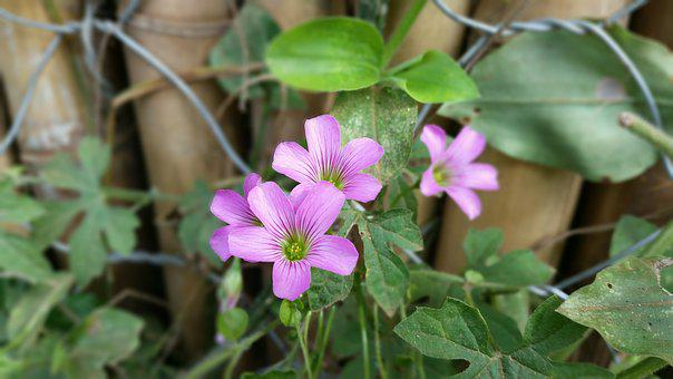 Flower, Purple, Lilac, Garden, Flowers, Nature