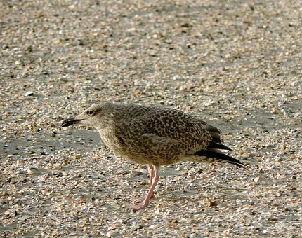 Seagull, Herring Gull, Young Bird, Large Gull, Bird