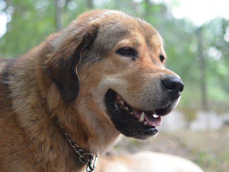 Dog, Mastiff, Tibet, Animal, Pet, Canine, Cute