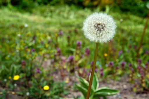 Dandelion, Flower, Spring, Nature, Beautiful, Bloom