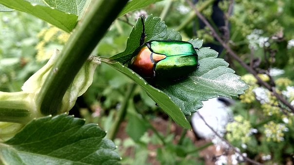 Insect, Nature, Animal, Green, Garden, Natural, Beetle