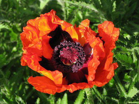 Poppy, Flower, Bloom, Summer, Garden, Nature, Colorful