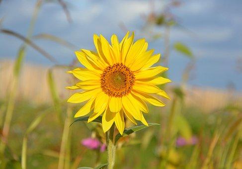 Yellow Flower, Sunflower, Yellow Petals, Flower, Nature