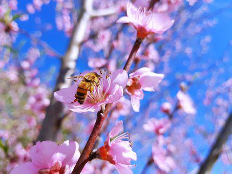 Peache Flowers, New Zealand, Bee
