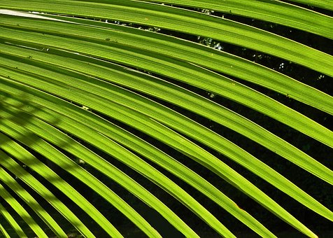Palm, Leaf, Green, Tree, Foliage, South, Summer, Nature