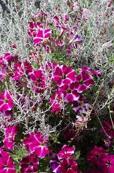 Petunia, Spirit Herb, Balcony Plants, Flowers