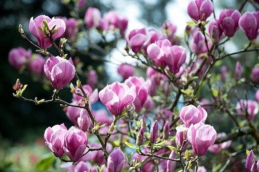 Magnolia, Pink, Magenta, Lilac, Spring, Flower, Blossom