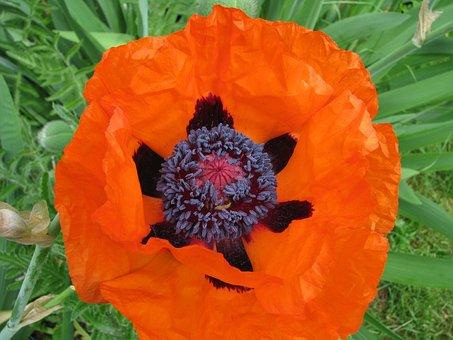 Poppy, Flower, Bloom, Garden, Summer, Colorful