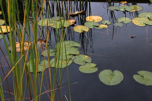 Water Lilies, Lake, Noufara, Waterlily, Flowers, Water