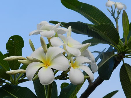 Fragrant Flowers, White Flowers, Frangipani, Sky Blue