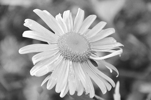 Flower, Photo Black White, White Petals, White, Plant