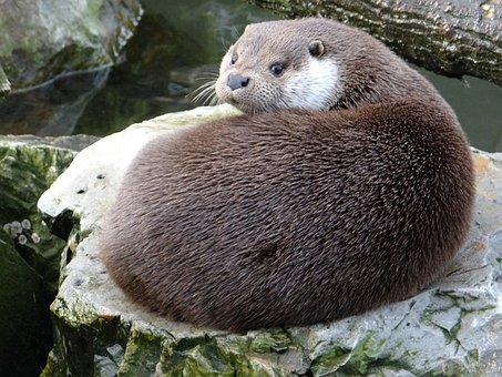 European Otter, Lutra Lutra, A Carnivorous Mammal
