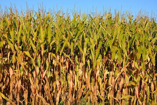 Corn, Agriculture, Fields, Nature, Cereals, Culture