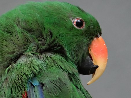 Barwnica Large, Parrot, Bird Colorful, Colored, Animal