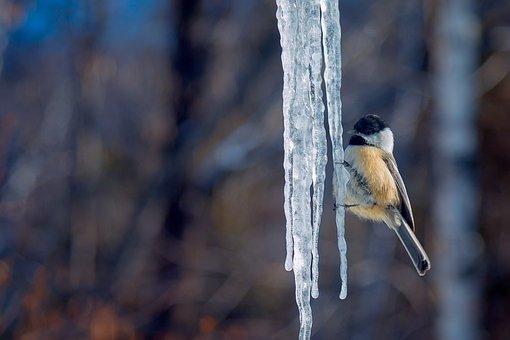 Tit, Ice, Winter, Cold, Contrast, Snowy, Bird