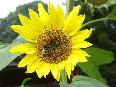 Sun Flower, Yellow, Bee, Bright, Nature, Blossom, Bloom