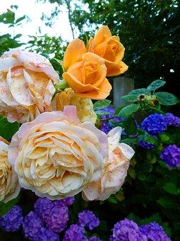 Roses, Flowers, Hydrangeas, Blossom, Bloom, Nature