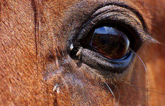 Horse, Brown, Eye, Fly, Close, Eyes, Head, Animal