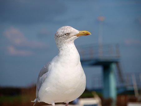 Seagull, Bird, Lake, Water Bird, Close, Nature