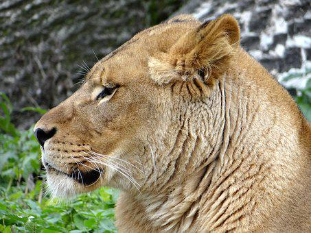 Lion, Mammal, The King Of Beasts, Animal, Feral Cat