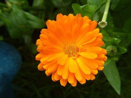 Orange Flower, Nature, Flower, Orange Blossom, Blossom